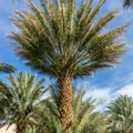 Date palm tree.- China Ranch Date Farm