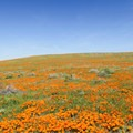 Fields of orange at the Antelope Valley Poppy Reserve.- Antelope Valley Poppy Reserve