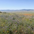 Fields bloom in orange, purple and yellow.- Antelope Valley Poppy Reserve