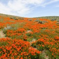 Catch the peak bloom sometime in late March or early April at the Antelope Valley Poppy Reserve.- Antelope Valley Poppy Reserve