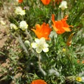 Cream cups and poppies at Antelope Valley Poppy Reserve.- Antelope Valley Poppy Reserve