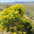 Yellow flowers accompany the spring bloom.- Antelope Valley Poppy Reserve