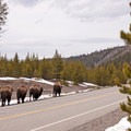 Bison frequently travel the stretch of road from Madison Junction to West Yellowstone.- Grand Loop + West Yellowstone Tour