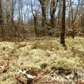 Fruticosi licheni along the Red Trail.- Crane Beach + Crane Wildlife Refuge