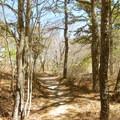 Green Trail pine forest.- Crane Beach + Crane Wildlife Refuge