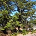 Pitch pine (Pinus rigida).- Crane Beach + Crane Wildlife Refuge
