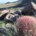 Red barrel cactus stand out among the brown and green landscape.- Barber Peak Loop