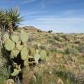 Beavertail cactus in the Mojave Desert.- Barber Peak Loop
