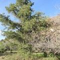 California juniper.- Barber Peak Loop