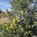 Bright yellow flowers bloom on creosote bushes in spring.- Barber Peak Loop