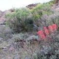 Paintbrush in the Mojave.- Barber Peak Loop