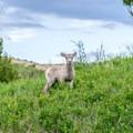 Baby sheep in Badlands National Park.- Badlands National Park