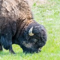 Bison in Badlands National Park.- Badlands National Park