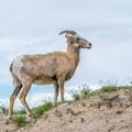 Big horn sheep in Badlands National Park.- Badlands National Park