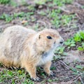 Prairie dog in Badlands National Park.- Badlands National Park