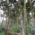 Nīkau palms are abundant on the route to Heaphy Hut.- New Zealand Great Walks: Heaphy Track