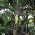 Flowers of the nīkau palm.- New Zealand Great Walks: Heaphy Track