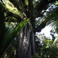 A giant rata tree.- New Zealand Great Walks: Heaphy Track