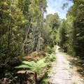 Thick forest along the Heaphy Track.- New Zealand Great Walks: Heaphy Track
