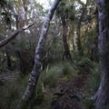 Thick brush leading up to Flanagan's Corner.- New Zealand Great Walks: Heaphy Track