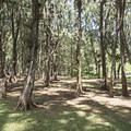 Picnic tables in the pines.- Kahana Bay Beach