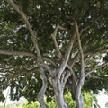 The massive tree in the middle of the park.- Makalei Beach Park