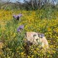Lacy phacelia (Phacelia tanacetifolia).- Desert Tortoise Natural Area
