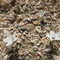 Tiny white flowers on the desert floor.- Desert Tortoise Natural Area