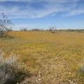 Millions of tiny yellow flowers turn the desert gold.- Desert Tortoise Natural Area