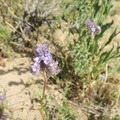 Purple flowers come to life in the spring.- Desert Tortoise Natural Area