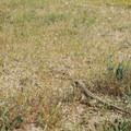 Leopard lizard in Desert Tortoise Research Natural Area.- Desert Tortoise Natural Area