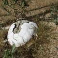 A bleached, old tortoise shell.- Desert Tortoise Natural Area