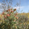 The desert is the showiest in spring.- Desert Tortoise Natural Area