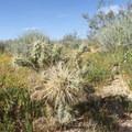 Cholla cactus.- Desert Tortoise Natural Area
