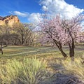 The nearby Fruita orchard, just across the road from the petroglyphs.- The Fruita Petroglyphs