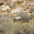 Deer are plentiful here.- The Fruita Petroglyphs