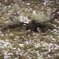 Active ground squirrels in the spring.- Coyote Creek Trail