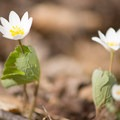 Some bloodroot (Sanguinaria canadensis) flowers near the trail.- Stone Valley Recreation Area