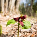 A red trillium (Trillium erectum) on the island between the channels.- Twin Falls
