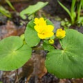A marsh marigold (Caltha palustris) near the creek.- Greenwood Creek Picnic Area