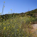The yellow and green of mustard plants following the wet winter months.- Hollywood Sign via Canyon Drive