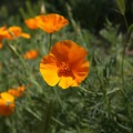 California poppies, the state flower, adding some color to the trail.- Hollywood Sign via Canyon Drive