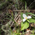 Trillium (Trillium cernuum) on the hike to Tire Mountain.- Tire Mountain