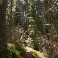 Dense temperate Douglas fir forest on the hike to Tire Mountain.- Tire Mountain