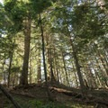 Douglas fir forest on the trail to Tire Mountain.- Tire Mountain