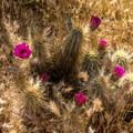Blooming cactus.- Cave Creek Regional Park