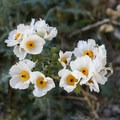Mojave prickly poppy bloom in abundant patches along the hike.- Barker Ranch
