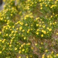 Pygmy cedar in explosive bloom.- Barker Ranch