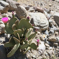 Beavertail cactus with pink blooms sporadically appear along the hike.- Barker Ranch
