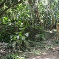 Old ruins of a jungle estate.- Kamananui Valley Road